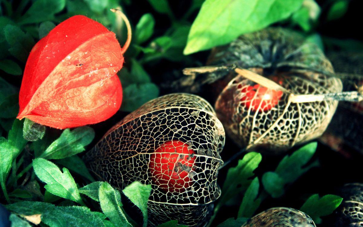 Фото бесплатно цветы, физалис, сердечки - на рабочий стол