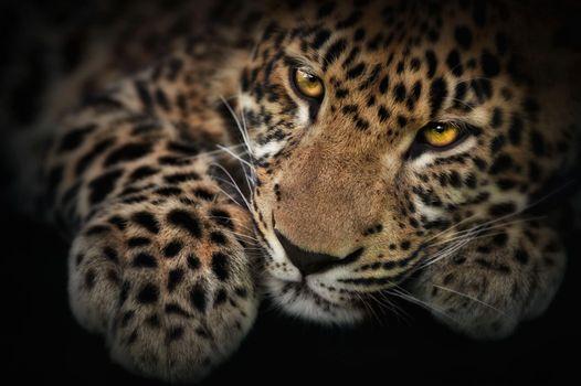 Фото бесплатно котёнок, леопард, panthera pardus