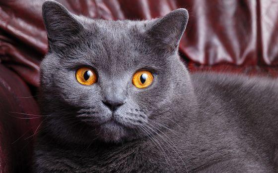 Фото бесплатно британский, британец, кошка
