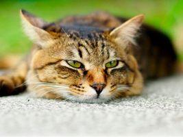Заставки кот, моська, лежит