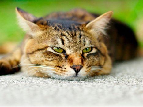 Фото бесплатно кот, моська, лежит