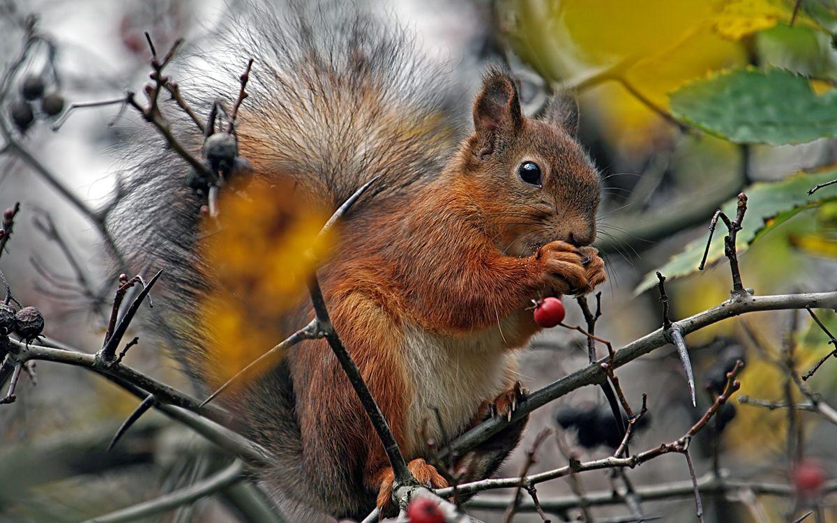Фото бесплатно белка, ягоды, лапки - на рабочий стол