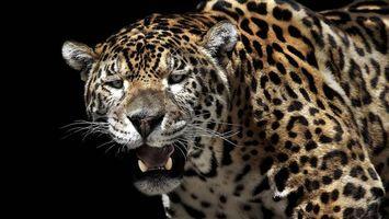 Бесплатные фото леопард, окрас, пятна, шерсть, оскал, клыки, кошки