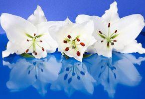 Бесплатные фото лилии,цветки,лепестки,бутон,аромат,тычинки,фон