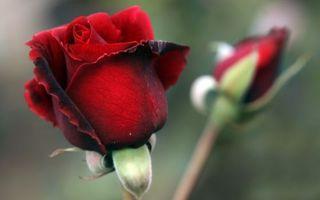 Бесплатные фото роза,украшение,растение,бутон,лепестки,стебель,цветы