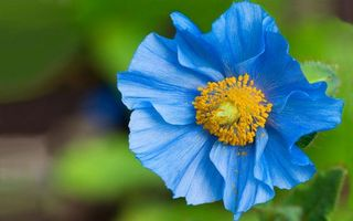 Бесплатные фото цветок,синий,голубой,лепестки,серединка,желтая,тычинка