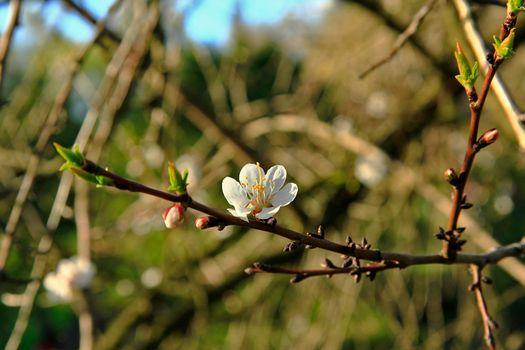 Бесплатные фото цветы,вишня,сакура,весна
