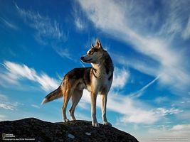 Заставки волк,небо,гора,тучи,national geographic,мох,животные