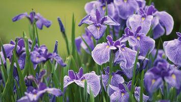 Бесплатные фото ирисы,цветки,лепестки,листья,зеленые,фиолетовые,лето