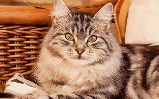 Бесплатные фото корзина,кошка,морда,глаза,усы,шерсть,кошки