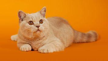 Фото бесплатно кот, британец, породистый