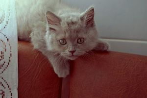 Обои кот, котенок, шерсть, лежит, уши, глаза, усы, мягкий, пушистый, серый, дымчатый, порода