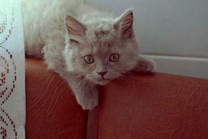 Бесплатные фото кот,котенок,шерсть,лежит,уши,глаза,усы