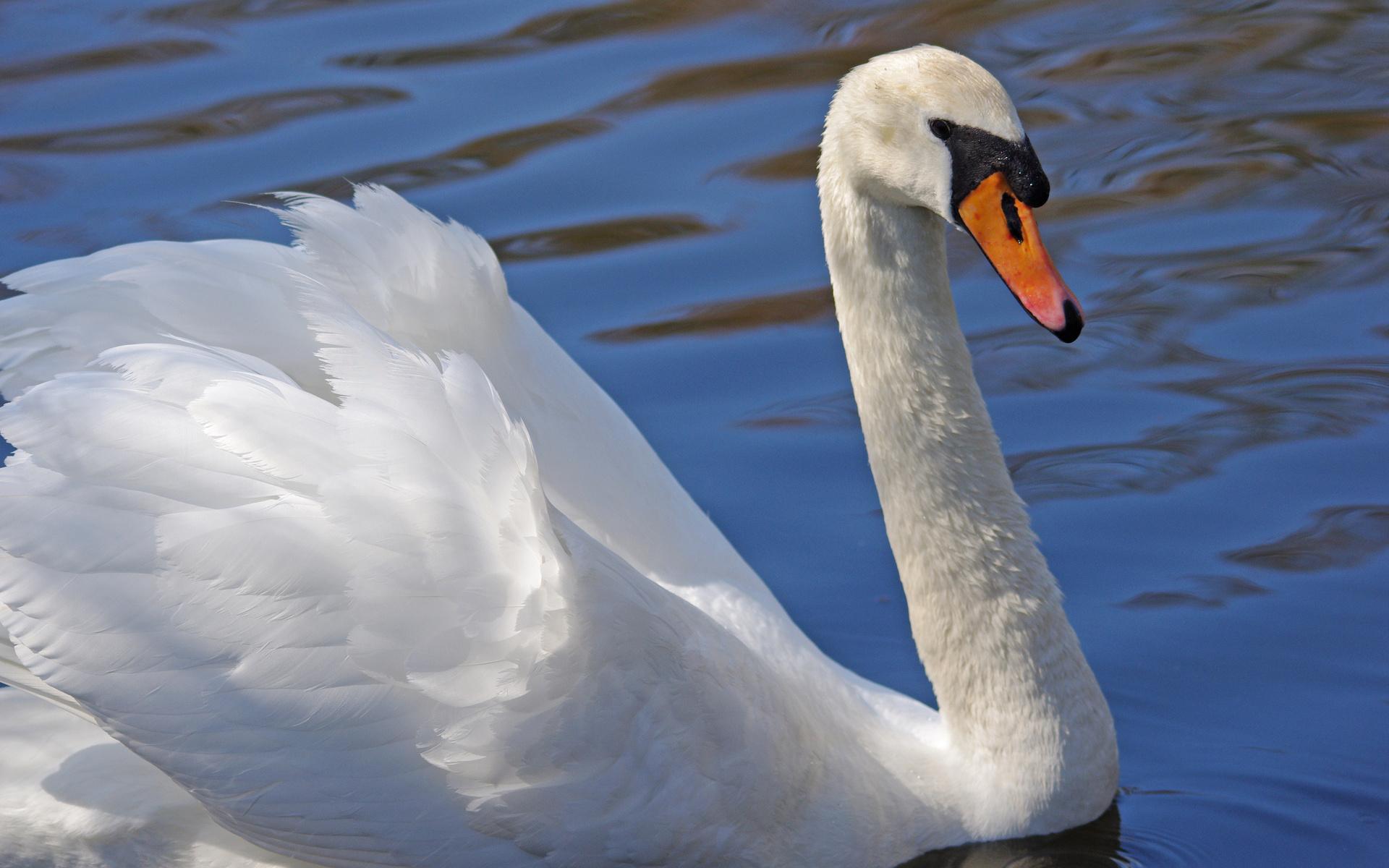 лебедь, белый, клюв