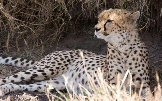 Фото бесплатно гепард, укрылся, от солнца
