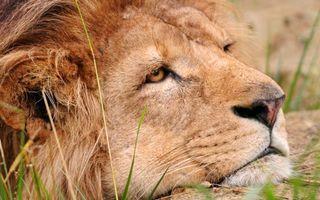 Photo free lion, sadness, melancholy