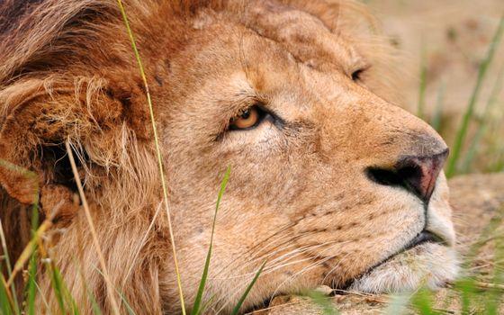 Фото бесплатно лев, грусть, тоска