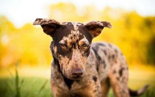 Бесплатные фото морда,глаза,желтые,нос,уши,шерсть,собаки
