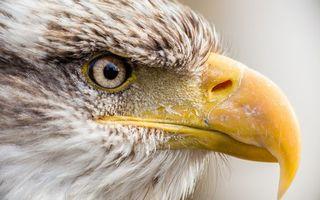 Бесплатные фото орел,клюв,желтый,глаз,перья,белые,птицы