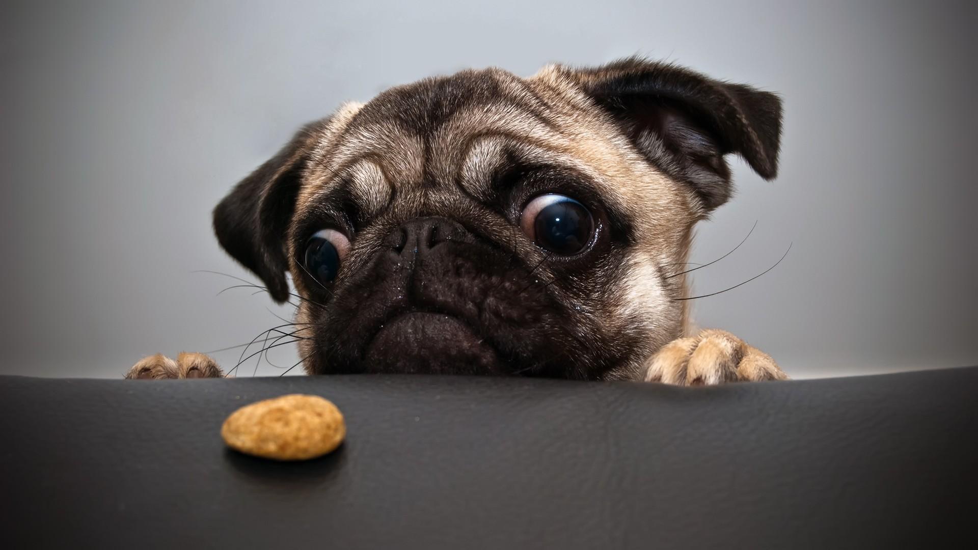 пес, глаза, печенье