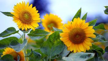 Бесплатные фото подсолнух,лепестки,листья,стебель,растение,зелень,лето