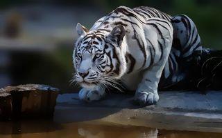 Бесплатные фото тигр,бенгальский,хищник,морда,лапы,водопой,рендеринг