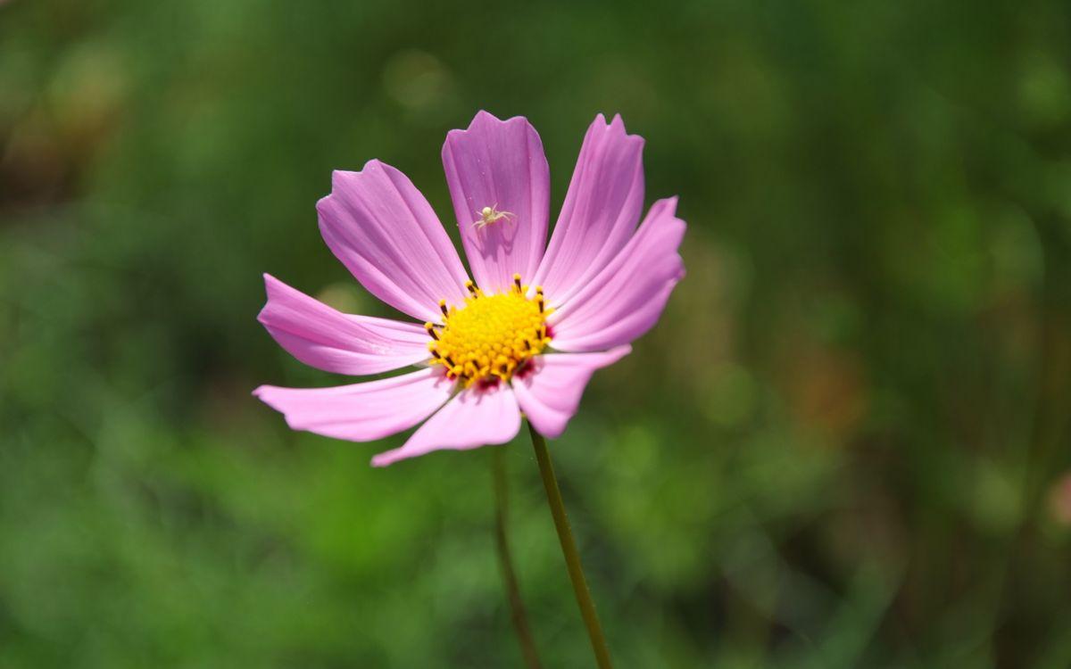 Фото бесплатно цветок, лепестки, розовые, паук, насекомое, стебель, цветы, цветы - скачать на рабочий стол