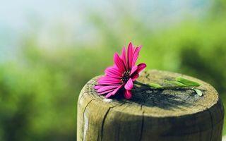 Заставки цветок, ромашка, лепестки
