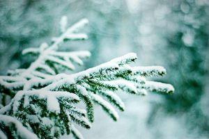 Фото бесплатно ветки елочки, елка, зимой