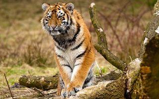 Бесплатные фото тигр,кошка,рыжий,полосатый,трава,охотится,кошки