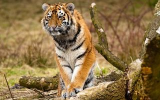 Заставки тигр, кошка, рыжий