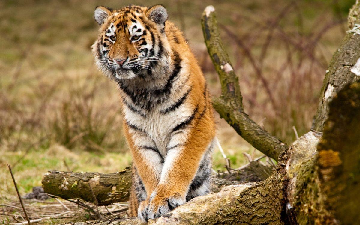 Фото бесплатно тигр, кошка, рыжий, полосатый, трава, охотится, кошки, кошки - скачать на рабочий стол