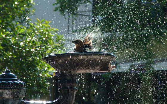 Фото бесплатно воробей, фонтан, моется