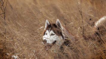 Бесплатные фото хаски, морда, глаза, голубые, уши, хвост, собаки