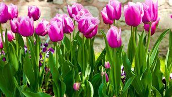 Бесплатные фото клумба, тюльпаны, лепестки, стебли, листья