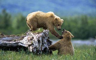 Фото бесплатно медведь, бурые, двое