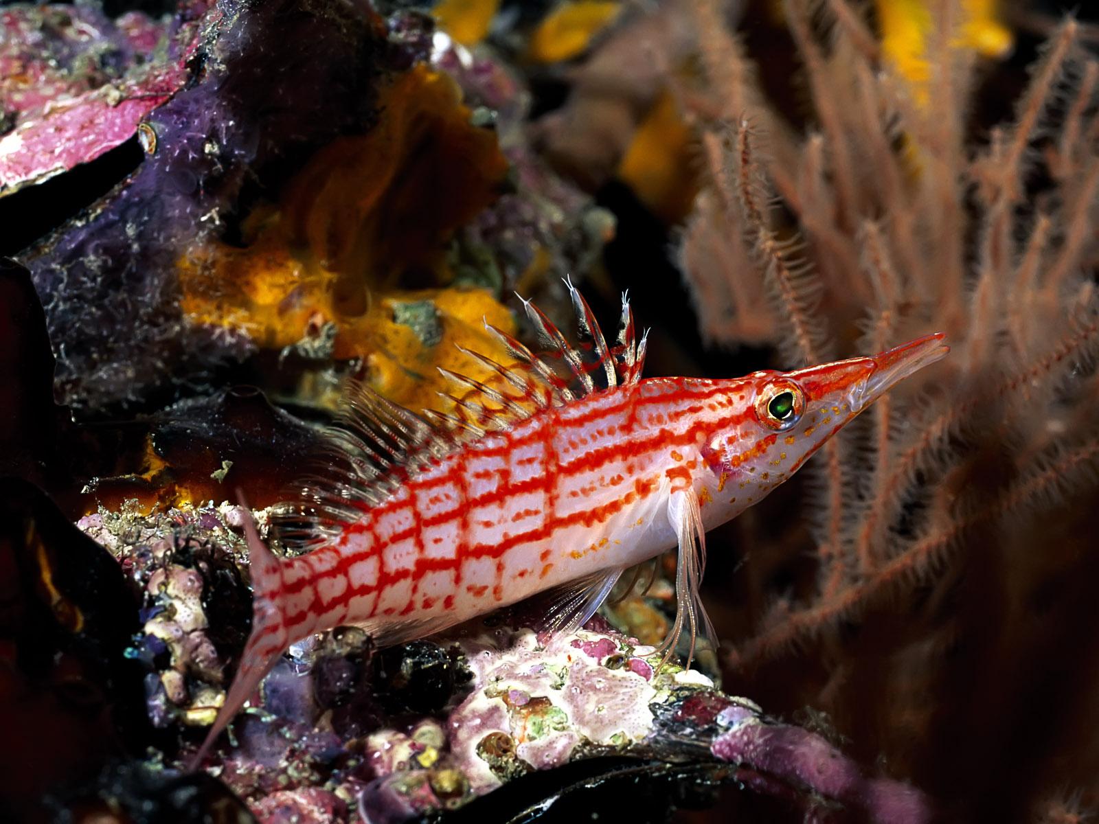 рыба, плавники, красно-белая