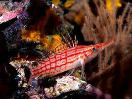 Фото бесплатно рыба, плавники, красно-белая