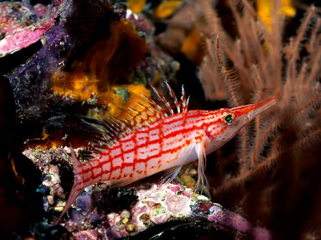 Photo free fish, fins, red and white