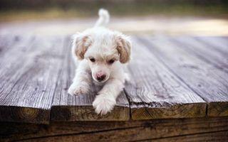Фото бесплатно щенок, маленький, белый