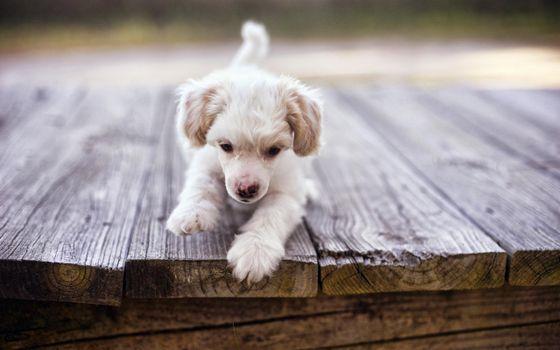 Photo free puppy, small, white