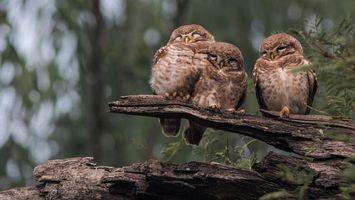 Фото бесплатно совы, дерево, сук