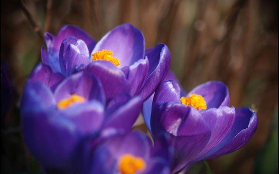 Бесплатные фото лепестки,крокусы,сиреневый,фиолетовый,макро