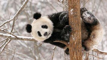 Бесплатные фото панда,медведь,дерево,ветка,зима,снег,животные