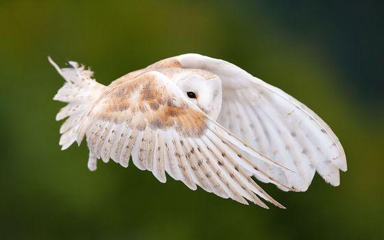 Фото бесплатно сова, летить, крылья