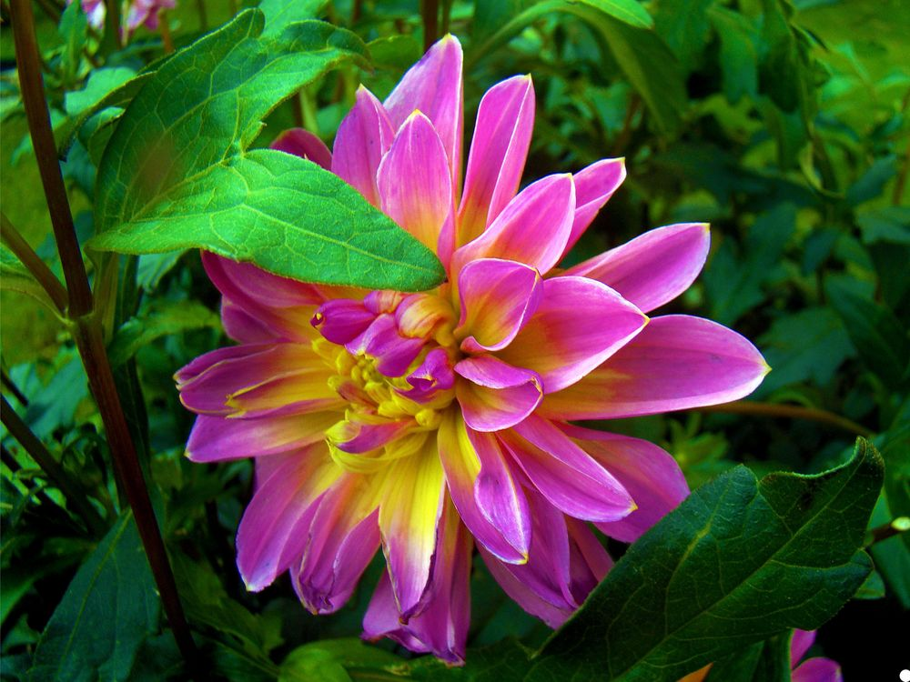 Бесплатная заставка цветок, георгин