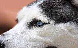 Бесплатные фото хаски,пес,щенок,ошейник,порода,шерсть,лапы