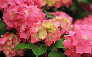 Бесплатные фото куст,цветок,лепестки,розовый,цвет,листья,зелень