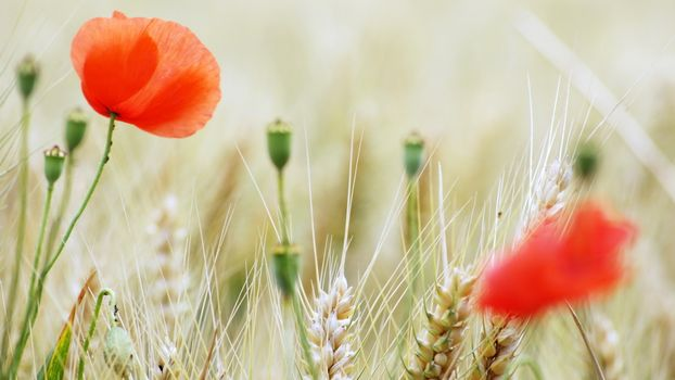 Photo free poppies, red, boxes