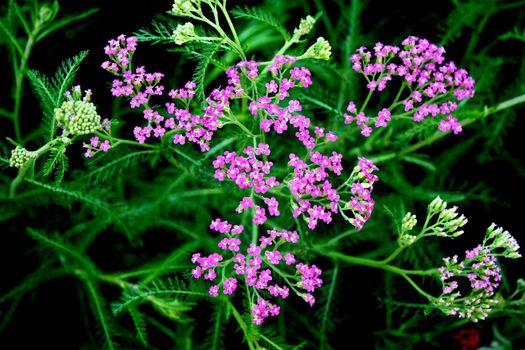 Фото бесплатно растение, листки, тысячелистник
